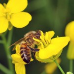 Buzz Over Bee Health: New Pesticide Studies Rev Up Controversy