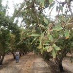 Salt Is Slowly Crippling California's Almond Industry