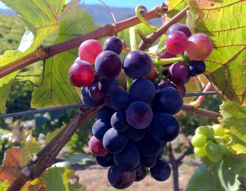 Pinot noir grapes from Talbott Vineyards (Talbott Vineyards)