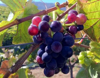 Pinot noir grapes from Talbott Vineyards (Talbott Vineyards)