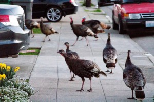 Part of a flock of 30 turkeys that invaded and took up residence in the East Bay town of Albany over the winter. (Dan Brekke/KQED)