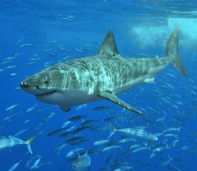 You don't want to go swimming with something like this, doya? (Terry Goss/Wikipedia)