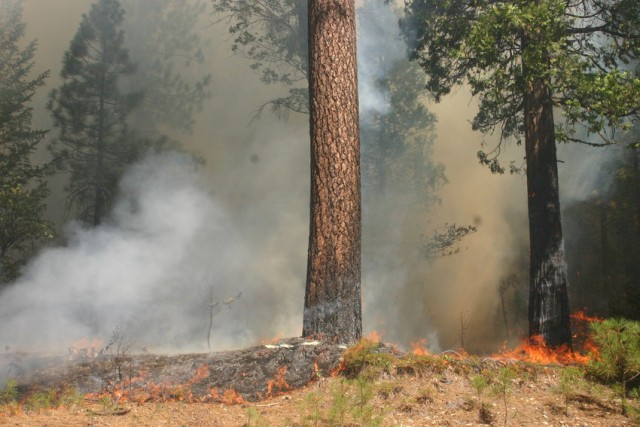"""Fire burned within a dozen or so feet of Highway 120 between Cherry Lake Road and the Yosemite National Park entrance on Aug. 26. Firefighters believe these flames """"spotted,"""" or jumped, to this location as embers were carried by the wind. (Grace Rubenstein/KQED)"""