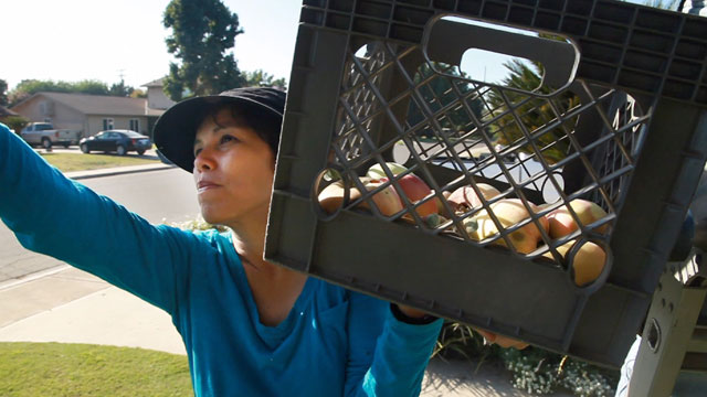 Sarah Ramirez gleans apples from a front yard in Visalia, Calif. (Scott Anger/KQED)