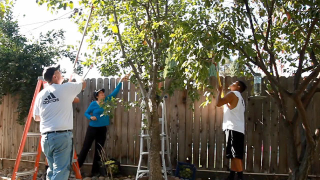 David Terrel, at left, works with his wife, Sarah Ramirez, center, and a volunteer to glean pears from a backyard tree in Visalia, Calif. (Scott Anger/KQED)