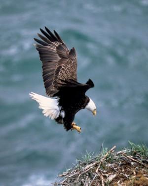 The bald eagle. (Endangered Species Coalition)