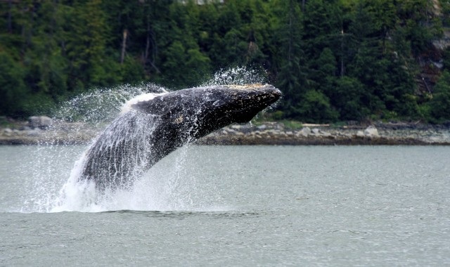 The humpback whale. (Endangered Species Coalition)