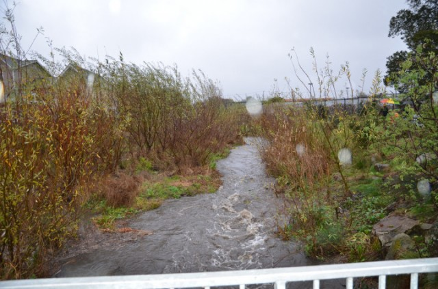 Codornices Creek in West Berkeley on  tFeb. 8, 2014, (William Newton/Berkeleyside)