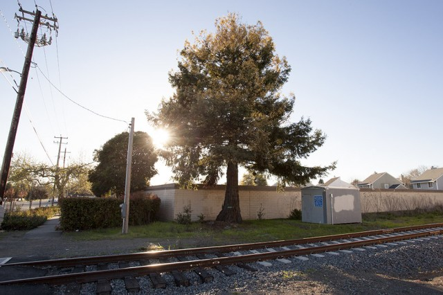 The Sonoma-Marin Area Rail Transit is planning to remove a rare albino redwood to make way for new commuter rail line (Mark Andrew Boyer/KQED)