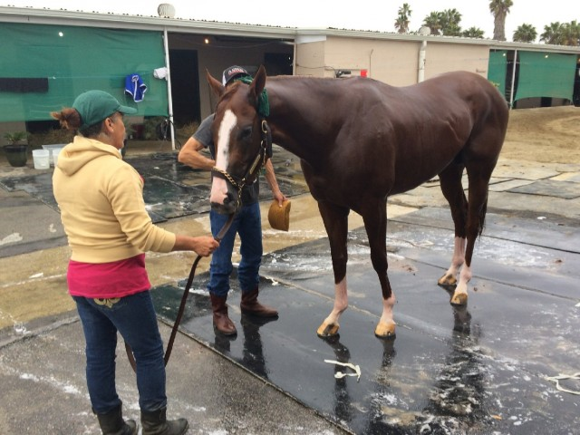The Kentucky Derby favorite gets a soapy bath as he trains for the big race. (Julia McEvoy/KQED)