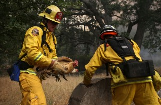 Cal Fire firefighter Johnny Miller, left, and Cal Fire division chief Nick Schuler move chickens as the Rocky Fire approaches on Friday.