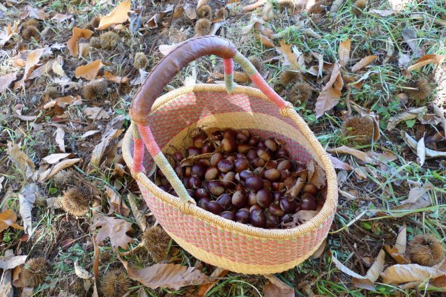 Amigo Bob and his partners believe these chestnuts come from a Marron de Lyon tree, originally from France. They're working with the University of Pennsylvania to test its DNA.