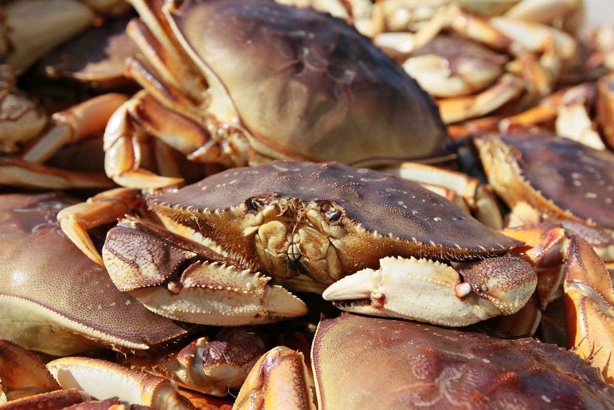 State Allows a Partial Opening for Dungeness Crab Harvest