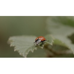 Small Crop Of What Do Lady Bugs Eat