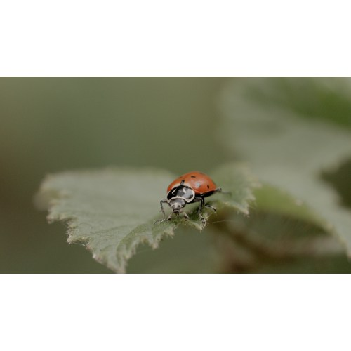 Medium Crop Of What Do Lady Bugs Eat