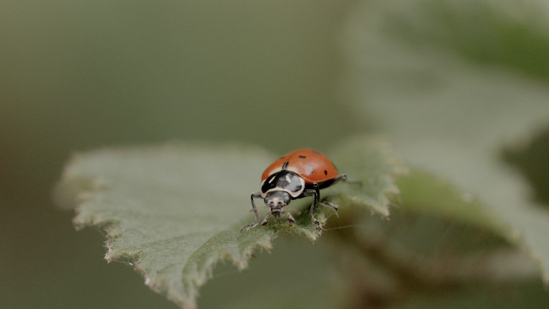 Large Of What Do Lady Bugs Eat