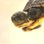 These Crazy Cute Baby Turtles Want Their Lake Back