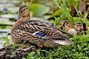 Female_mallard_nest_-_natures_pics_edit2