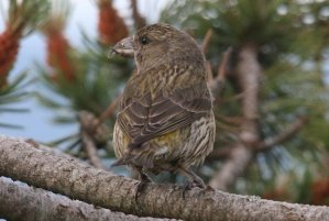 young red crossbill