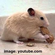 hamster nut