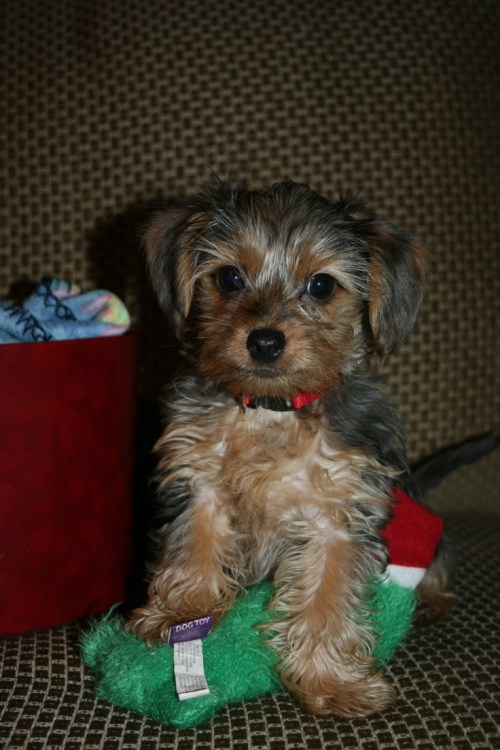 Medium Of Dachshund Yorkie Mix