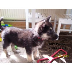 Small Crop Of German Shepherd Malamute Mix
