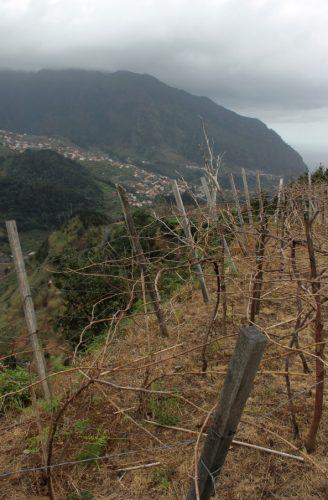Madeira vineyards