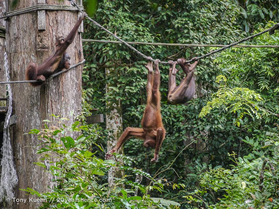 Orangutans playing at Sepilok Rehab Center, Borneo