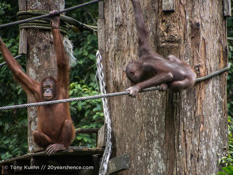 Wild orangutans playing at Sepilok Rehabilitation Center, Borneo