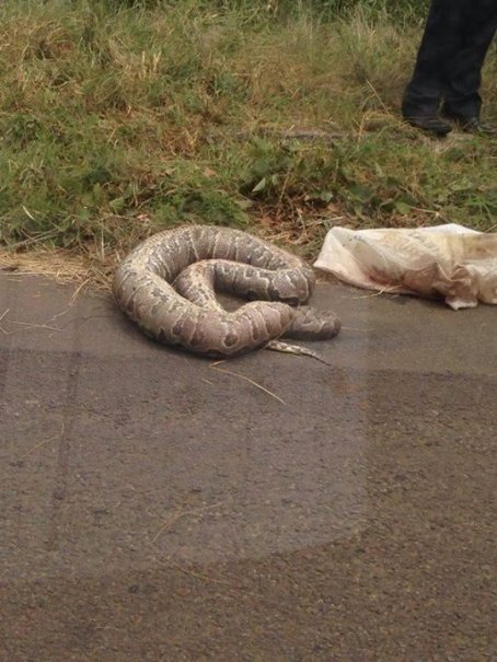 This snake that was thrown ou of a moving car -  MYZIMBABWE