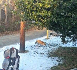 Our friendly neighborhood fox! (Credit: the hubs)