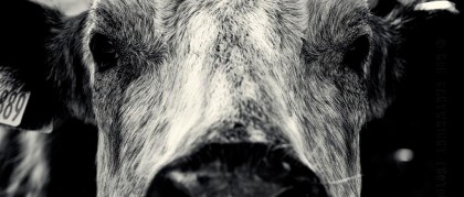 cow-cattle-animal-portrait-bovine-close-crop-detail-contrast-silver-efex-nik-dof-photography-photo-image-scotland-bw-black-white-bw-mono-monochrome-nikon-d700-photoaday-rob-cartwright
