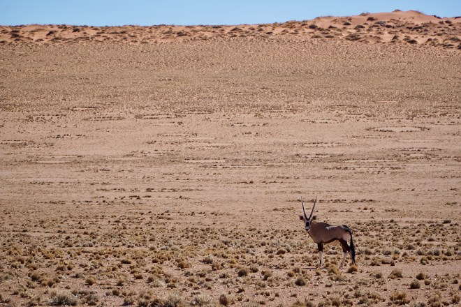 A lone male oryx along the drive
