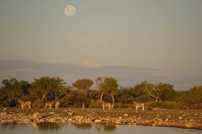 Zebras with moon over head