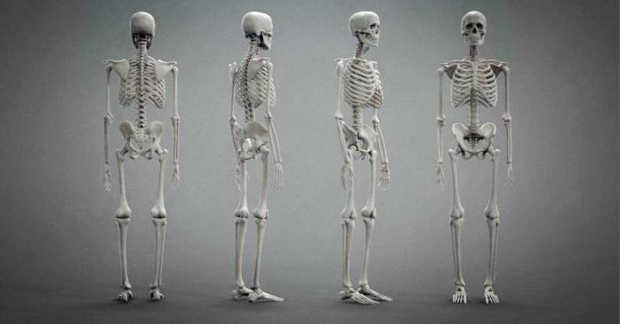 skeleton model free download