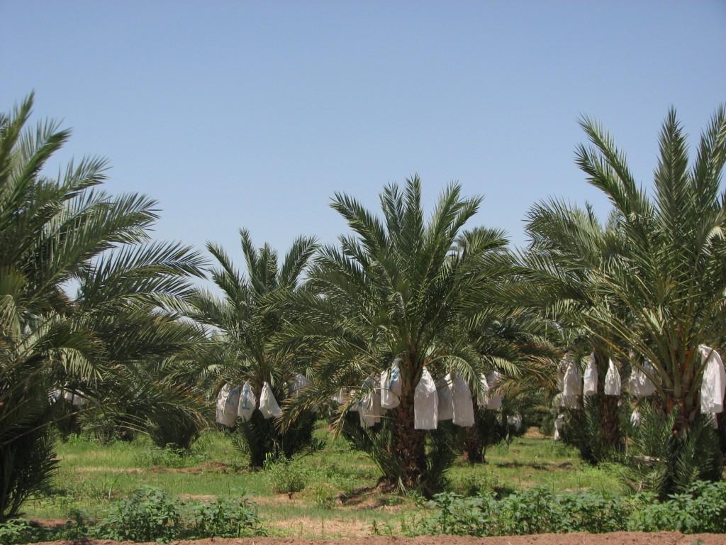 Picture Sale Medjool Date Palm Care Harvest Medjool Dates On A Trip Medjool Date Palms houzz 01 Medjool Date Palm