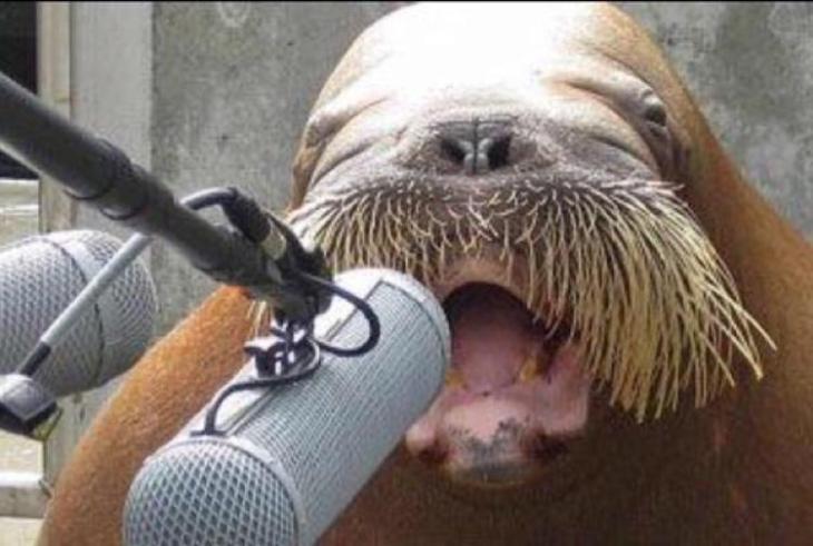 Walrus-sound