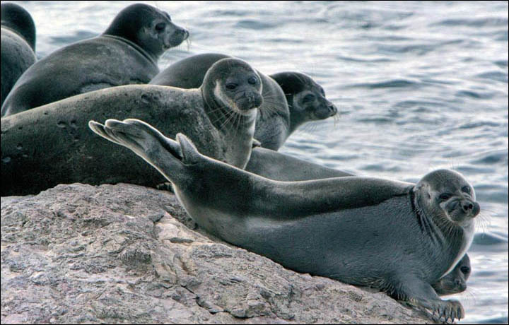 The seals need to be hunted to prevent an epidemic and to provide work for local people, Arnold Tulokhonov claimed. Picture: 'Zapovednoe Podlemorye'