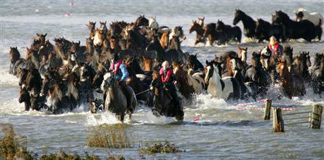 Guides lead around 100 horses through flooded fields near Marrum, Netherlands, three days after the herd was stranded on a small knoll.