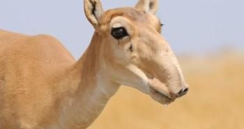 Endangered-Saigas-Antelope-1020x610