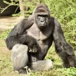 Cincinnati Zoo Gorilla Shot After 4 Year Old Enters Habitat