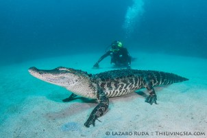 An alligator in the ocean