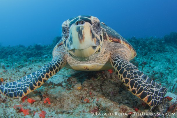 Curious hawksbill sea turtle