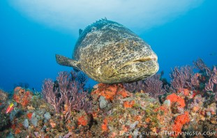 Goliath grouper over Palm Beach reef