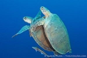 Mating Green Turtles