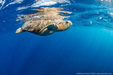 Loggerhead turtle catching his breath