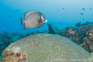 Gray angelfish at a cleaning station