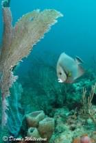 Gray Angelfish and Sea Fan