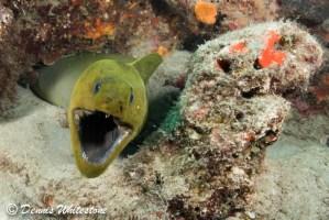Green Moray Eel coming out to say HI!