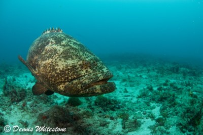 'Shadow' a resident Goliath Grouper